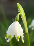 Snowdrop. With dew drops (close up Royalty Free Stock Image