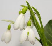 Three snowdrops Stock Image
