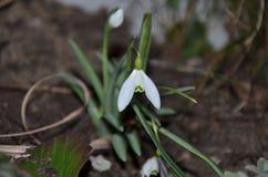 Snowdrop Στοκ Φωτογραφία