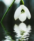 Snowdrop. And water reflection in spring Stock Photo