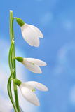 Snowdrop Stock Photos