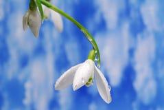 snowdrop 图库摄影