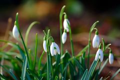 Snowdrop. In blossom in spring Royalty Free Stock Photography