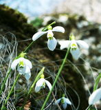 Snowdrop Royalty Free Stock Photography