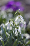 Snowdrop Fotos de archivo