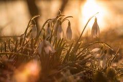 Snowdrop Стоковое фото RF
