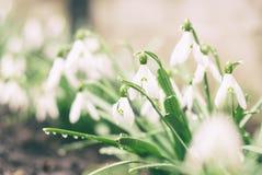 Snowdrop Stockfoto