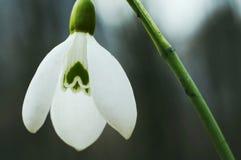 Snowdrop imagen de archivo