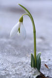 Snowdrop. In the snow Royalty Free Stock Image