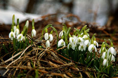 Snowdrop Royalty Free Stock Image