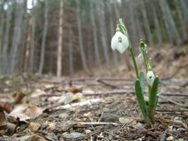 Snowdrop Foto de Stock Royalty Free