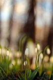 Snowdrop Стоковая Фотография