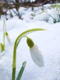 snowdrop Photographie stock libre de droits