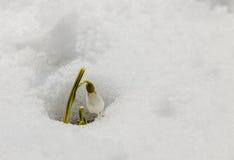 Snowdrop fotos de archivo libres de regalías
