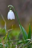 Snowdrop Стоковая Фотография RF