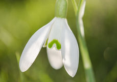 Snowdrop Fotografia de Stock Royalty Free