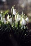 Snowdrop Imagenes de archivo