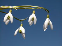 Snowdrop. Flowers Stock Photo