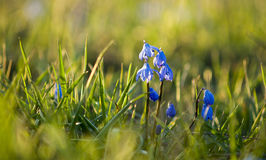 Snowdrop adiantado da flor da mola fotografia de stock royalty free