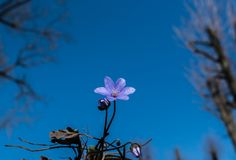 Snowdrop against the blue sky. Beautiful spring background stock photography