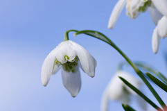 Snowdrop against blue sky. Double snowdrop viewed from below against a blue sky Stock Photography