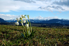 Snowdrop in alpe bavarese Immagini Stock