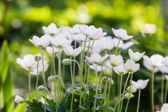 Snowdrop Anemone - εποχή Anemone sylvestris- την άνοιξη εστίαση ρηχή Στοκ Φωτογραφίες