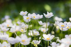 Snowdrop Anemone - εποχή Anemone sylvestris- την άνοιξη εστίαση ρηχή Στοκ Εικόνες