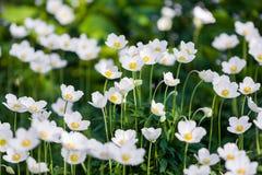 Snowdrop Anemone - εποχή Anemone sylvestris- την άνοιξη εστίαση ρηχή Στοκ φωτογραφία με δικαίωμα ελεύθερης χρήσης
