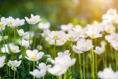Snowdrop Anemone - εποχή Anemone sylvestris- την άνοιξη εστίαση ρηχή Στοκ Εικόνα