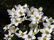 Free Snowdrop Anemone, Anemone Sylvestris, Blooming Royalty Free Stock Images - 186325249