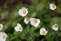 Snowdrop Anemone (Anemone sylvestris) Royalty Free Stock Image