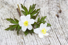 Snowdrop Anemone (Anemone sylvestris) Stock Photo