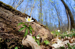 Snowdrop anemone flower in forest Royalty Free Stock Images