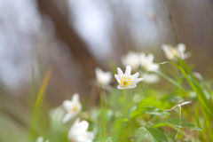 Snowdrop anemone flower in forest Stock Images