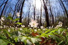 Snowdrop anemone flowers in bright sunshine Royalty Free Stock Image