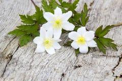 Snowdrop Anemone (sylvestris Anemone) Στοκ Εικόνες