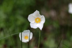 Snowdrop Anemone (sylvestris Anemone) Στοκ Φωτογραφία