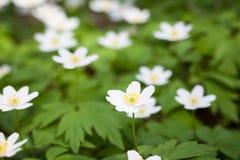 Snowdrop anemones σε ένα δάσος άνοιξη Στοκ Εικόνα