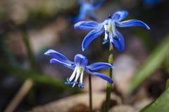 Snowdrop azul Foto de archivo libre de regalías