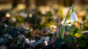 Snowdrop. Beautiful snowdrop is fighting against the bitter winter. Spring is about to win this fight now Royalty Free Stock Images