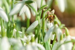 Snowdrop and bee - macro Royalty Free Stock Photography