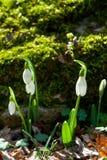 Snowdrop blommor som skins med sunen Arkivbild