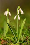 Snowdrop bloom in early spring Stock Photography
