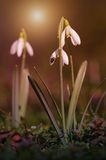 Snowdrop bloom in early spring Royalty Free Stock Images
