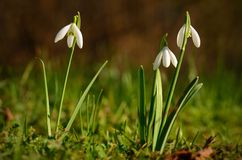 Snowdrop bloom in early spring Royalty Free Stock Photo