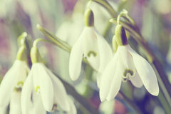 Snowdrop bloom in springtime in abstract colors Stock Photos