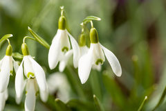 Snowdrop bloom in springtime Royalty Free Stock Photo