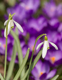 Snowdrop bloom in springtime Royalty Free Stock Image