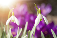 Snowdrop bloom in springtime with sunlight Stock Image